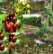 Pomi columnar pitici10+5 grati